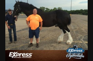 Budweiser Clydesdale-Danny